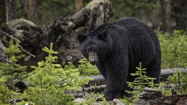 Urso persegue cão em plena rua