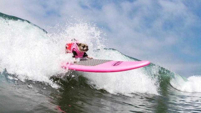 Cães participam de campeonato de surf na Califórnia; veja