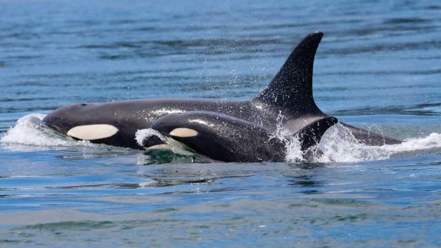 Orca que carregava filhote morto há 17 dias finalmente o deixa ir
