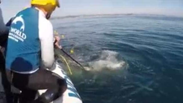 Veja o momento em que baleia bebê é libertada para pegar tubarões