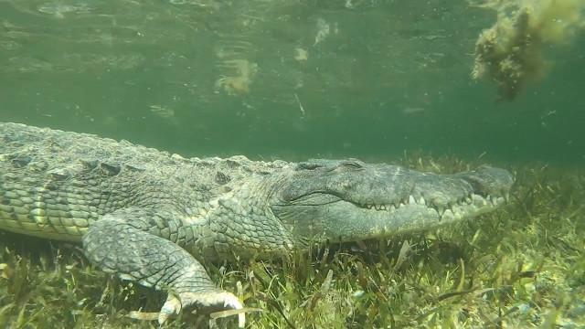 Mulher nada com crocodilos selvagens