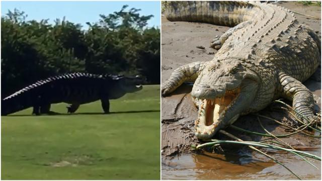 Jacaré ou dinossauro? Animal assusta jogador em campo de golfe