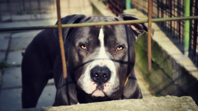Pit bull é morto a tiros após fugir e atacar outro cão em SP