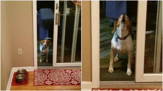 Cachorro pede para lhe abrirem uma porta que já está aberta; veja