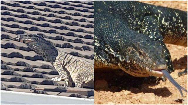 Lagarto gigante passeia por telhado de casa australiana