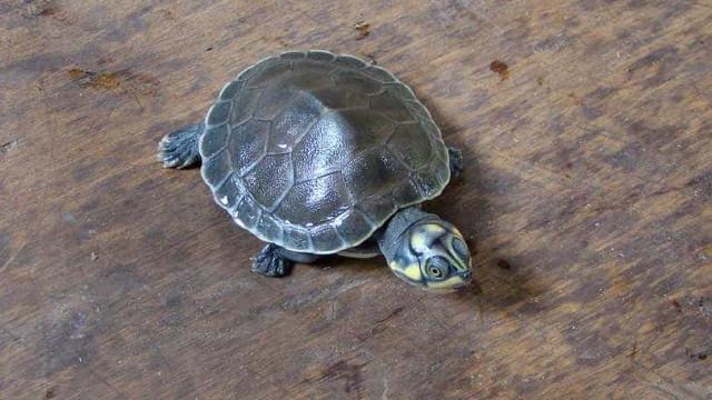 População de tartaruga-da-amazônia cresce graças às comunidades locais