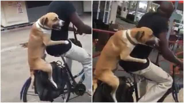 Cachorro pega carona com ciclista; veja