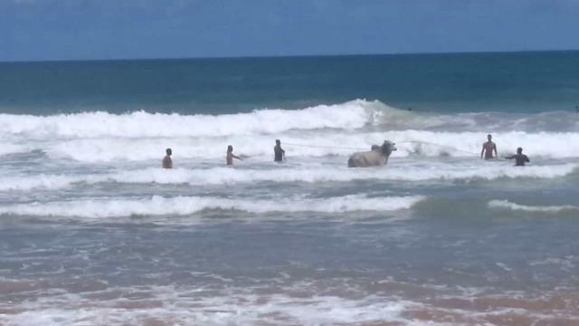 Boi foge de evento agropecuário, corre para o mar e morre afogado