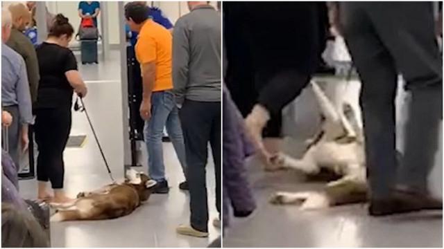 Cão rabugento se recusa a passar pela segurança de aeroporto