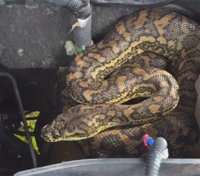 Mecânico encontra serpente em motor de automóvel na Austrália; veja