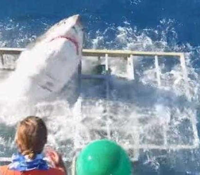 Pânico: Tubarão branco invade jaula com mergulhador dentro; veja!