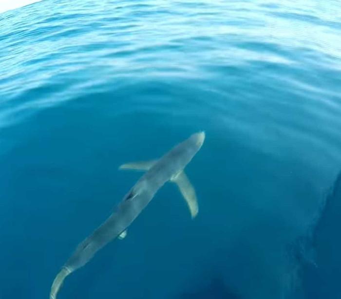Corajoso: Homem pula no mar com um tubarão; assista!