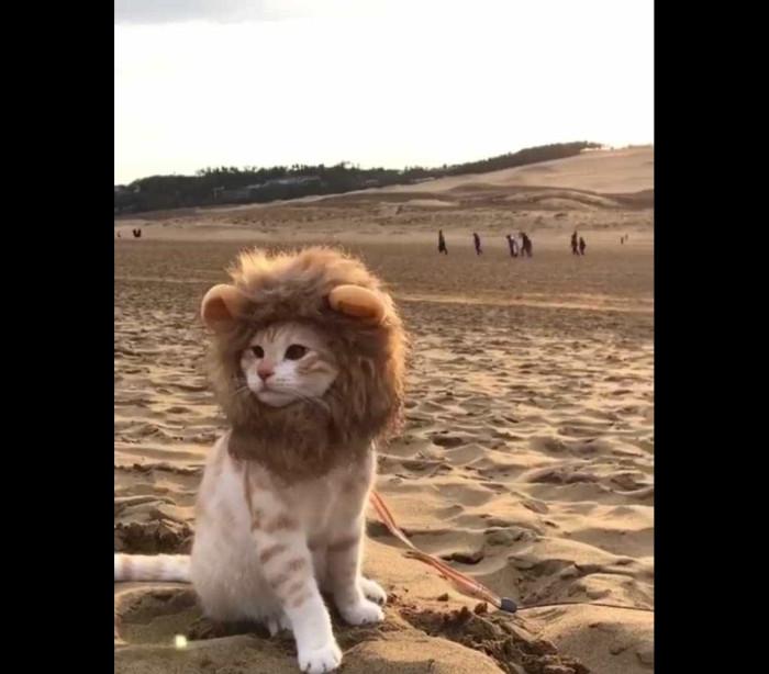 Gato pensa que é um leão e encanta internautas; veja