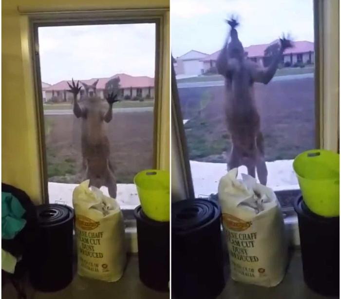 Canguru aterroriza mulher ao tentar quebrar janela