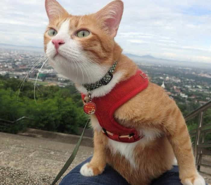 Gato adora andar na bolsa e vira celebridade na Tailândia