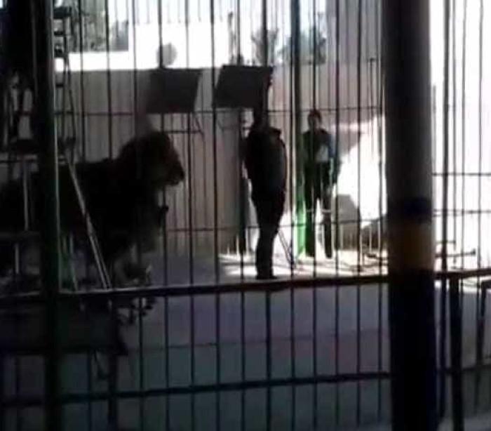 Leão ataca domador durante espetáculo. Homem morreu no hospital