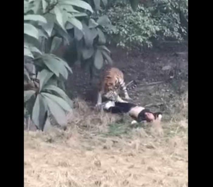Homem morre em ataque de tigres num zoo na China