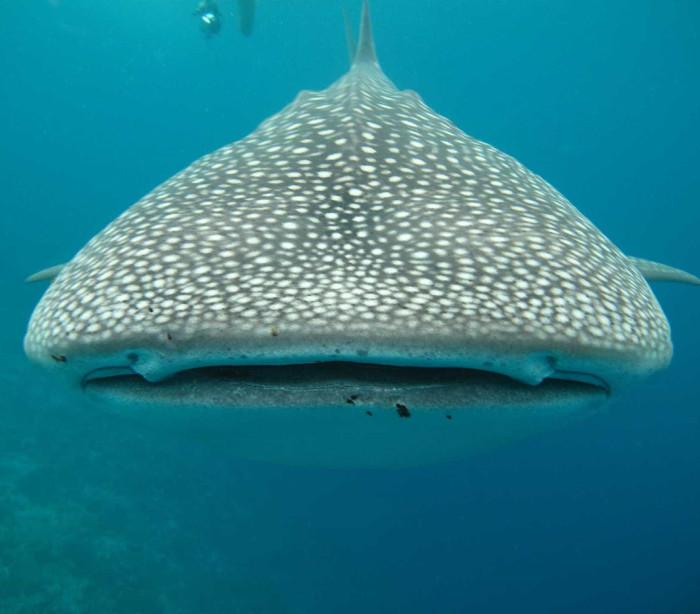 Mergulhador fica frente-a-frente com tubarão-baleia