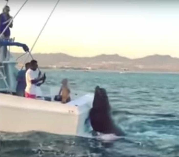 Foca gigante sobe a barco para reclamar comida; veja