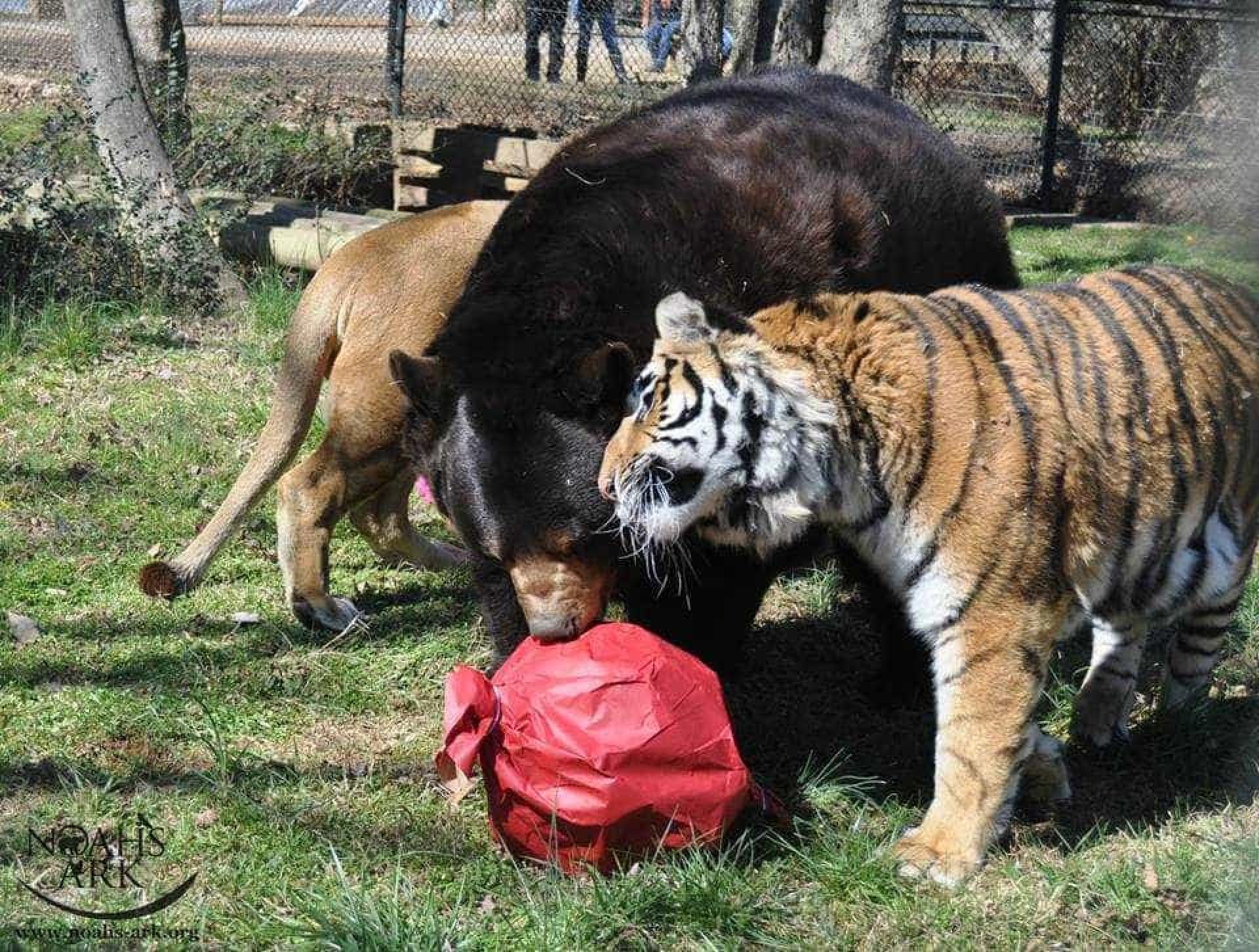 Nos EUA, urso, leão e tigre são um família