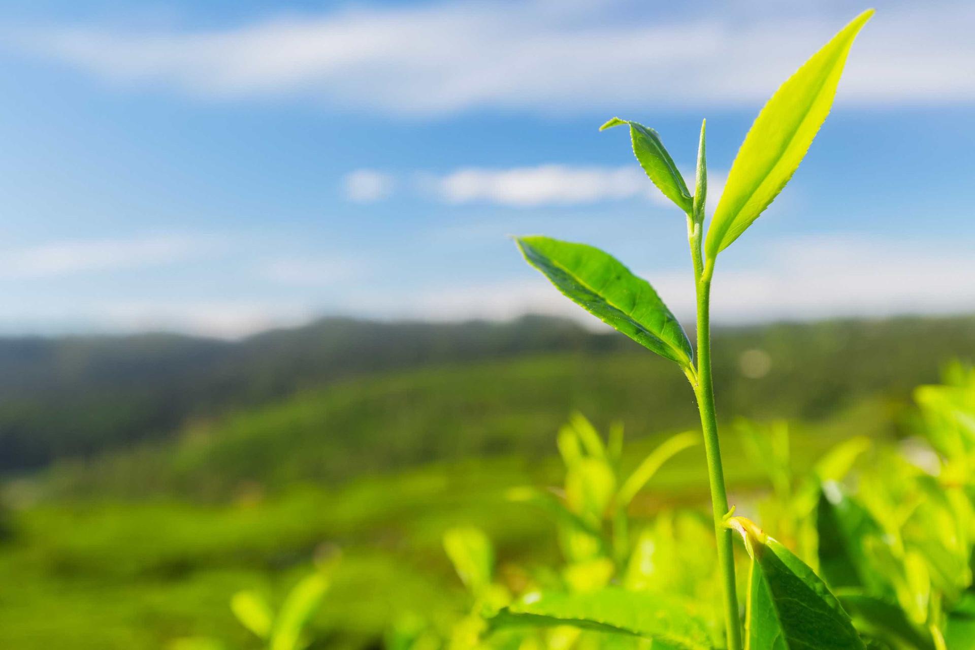 Trinta curiosidades surpreendentes sobre o chá
