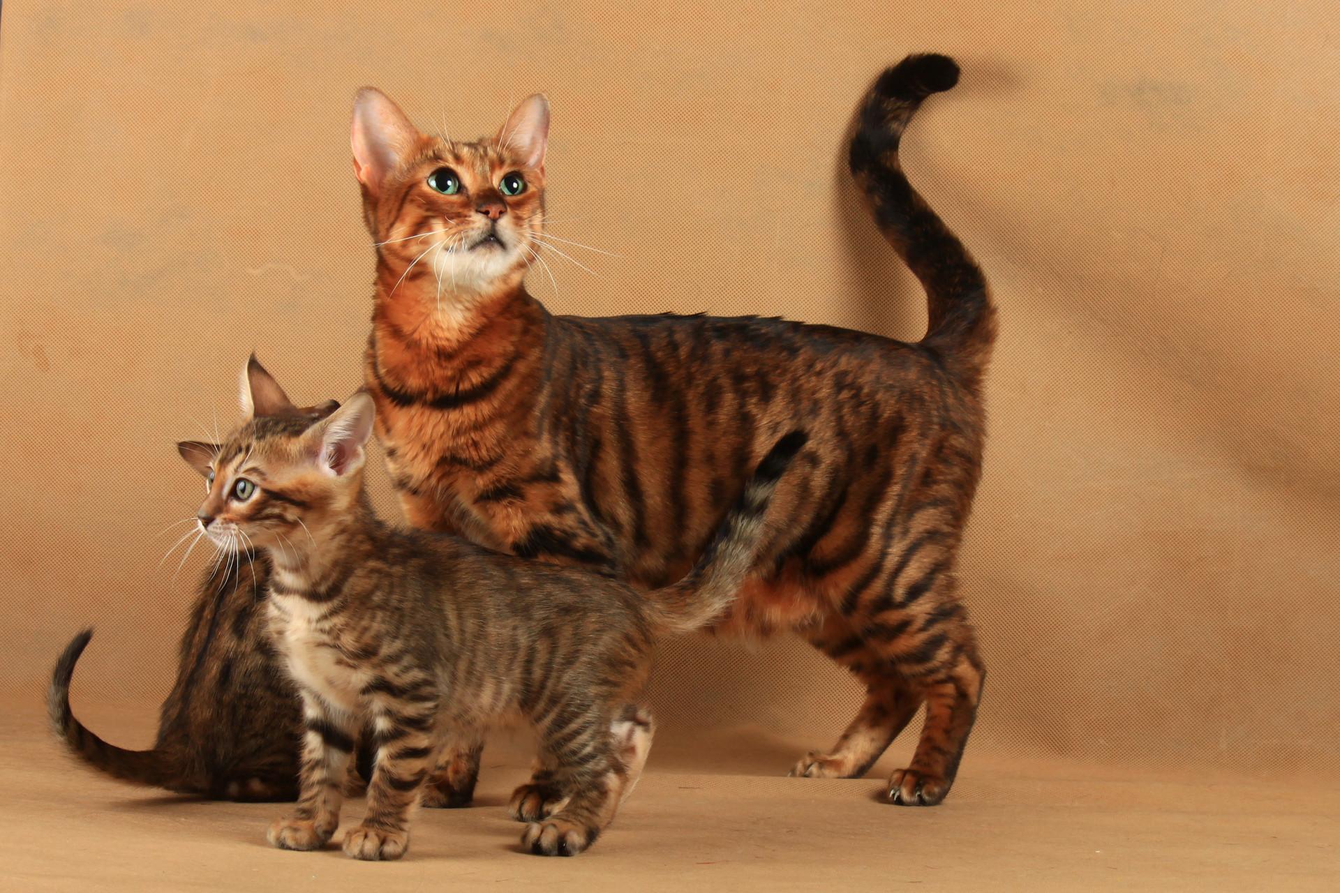 Gosta de gatos? Veja as melhores raças para se ter em casa